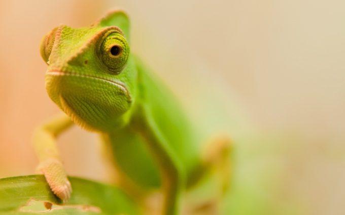 chameleon photography
