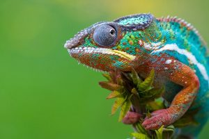 chameleon photos hd