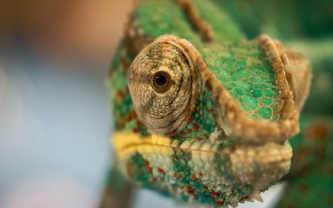 chameleon picture