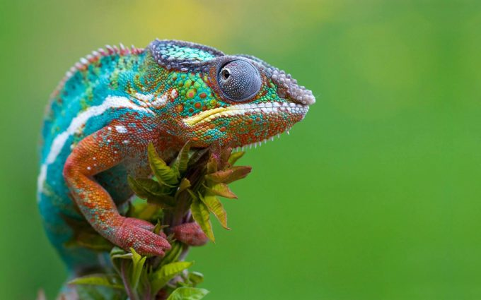 chameleon picture hd