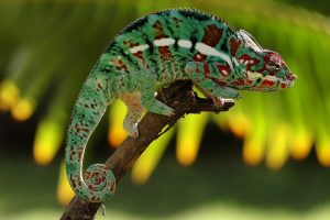 chameleon wallpaper hd