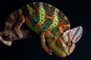 chameleon wallpapers