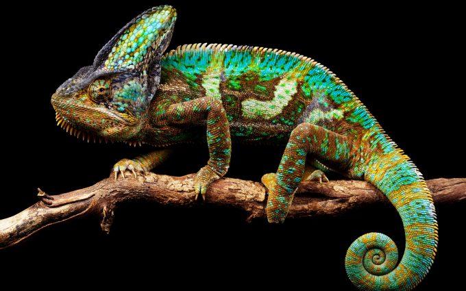 chameleon wallpapers background