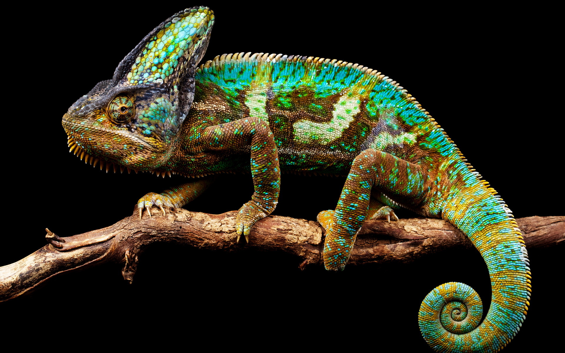 chameleon wallpapers background