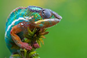 chameleon wallpapers computer