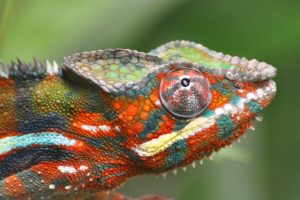 chameleon wallpapers desktop