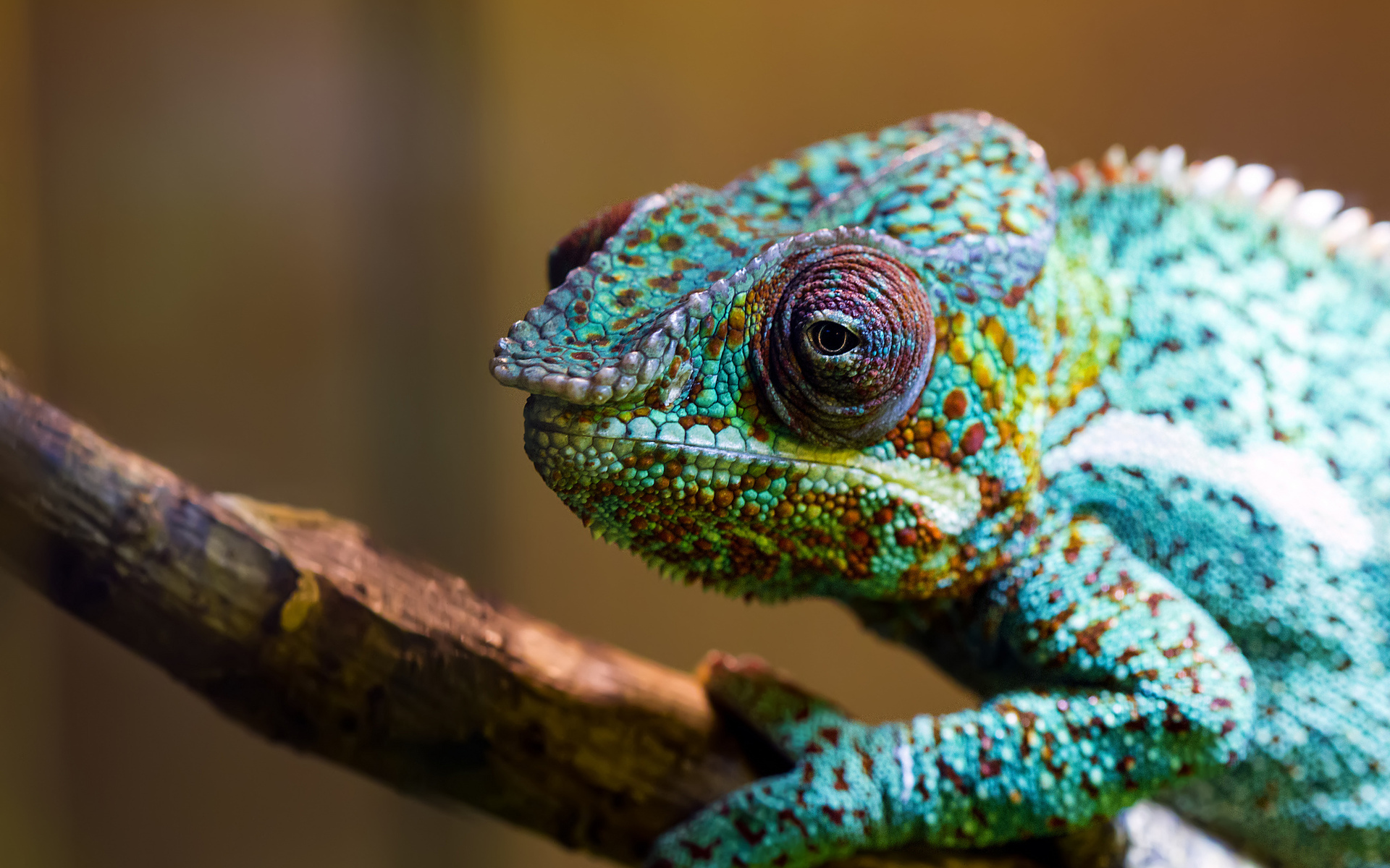 chameleon wallpapers download