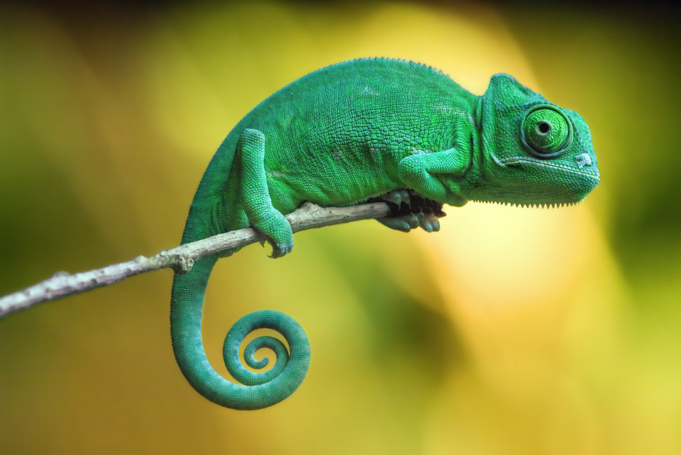 chameleon wallpapers forest