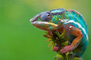 chameleon wallpapers free