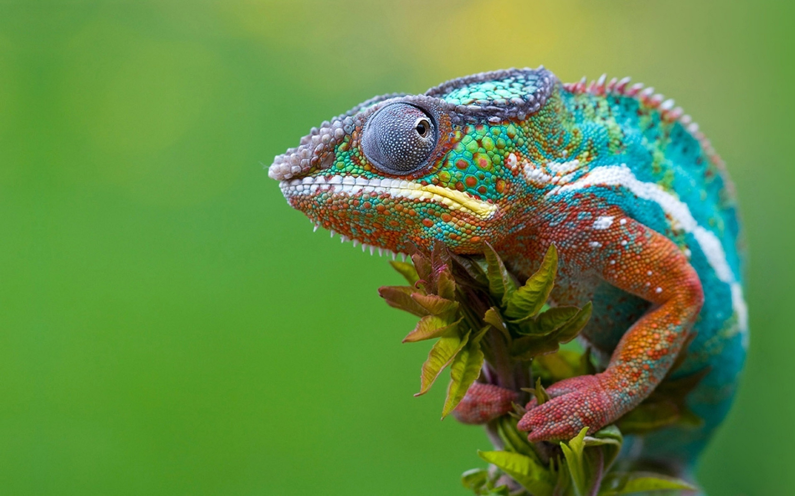 chameleon wallpapers free