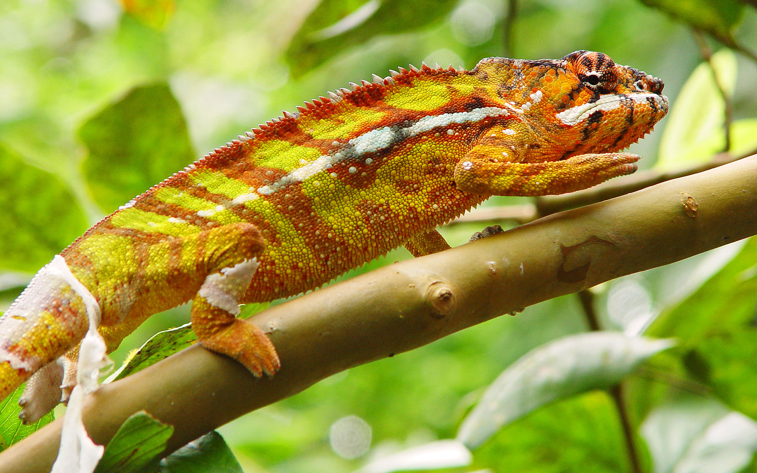 chameleon wallpapers reptile