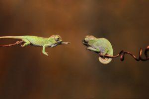 chameleons hd
