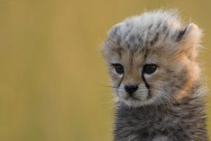 cheetah animal images