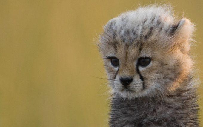 cheetah animal images