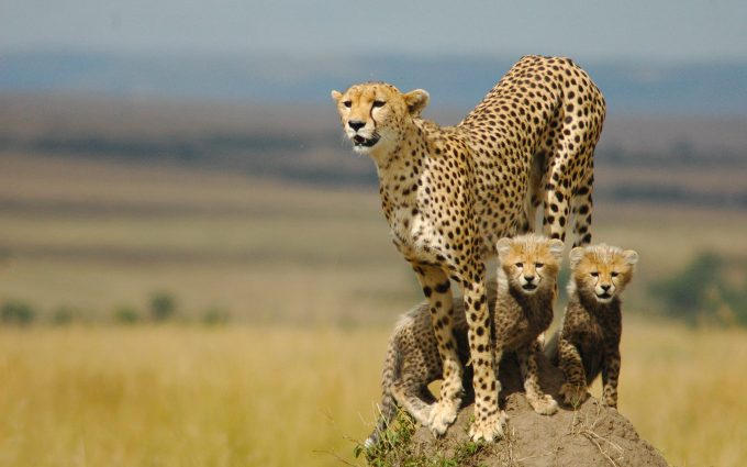cheetah animal pictures