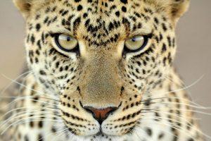 cheetah images