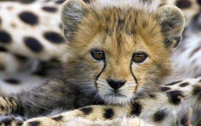cheetah images free download
