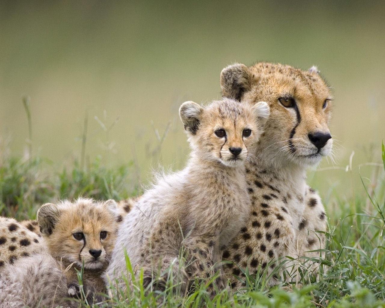 cheetah images free