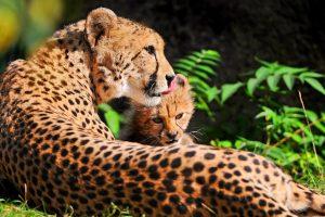 cheetah images hd