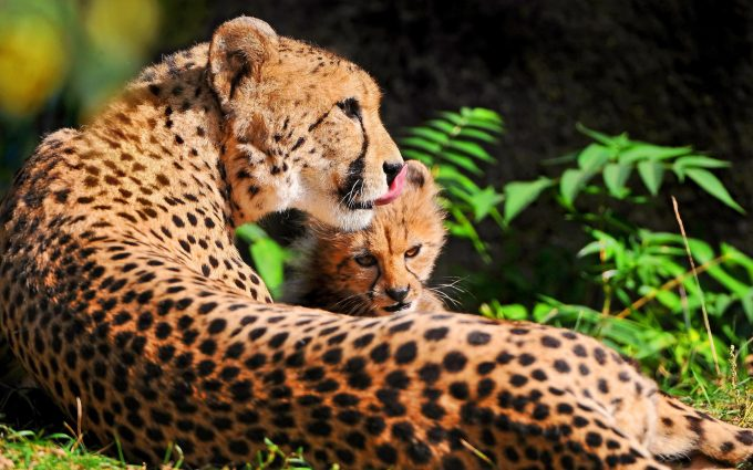 cheetah images hd