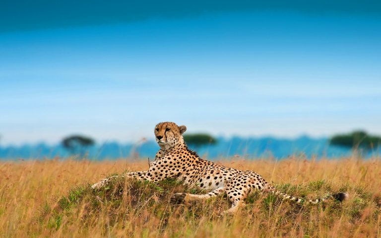 Cheetah wallpaper widescreen