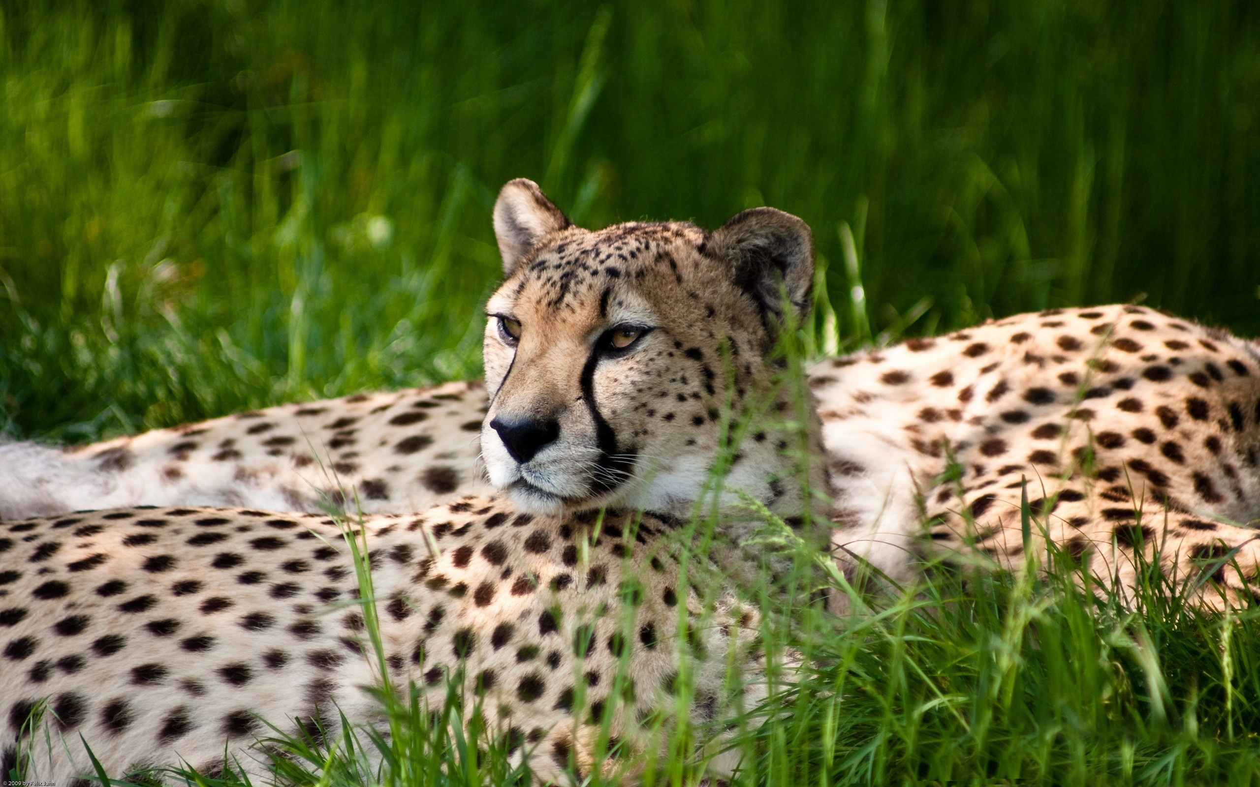 cheetah photo