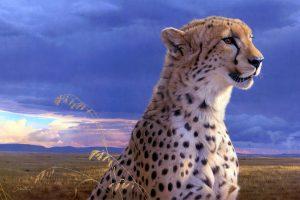 cheetah photos free