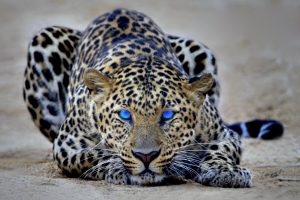 cheetah pictures hd