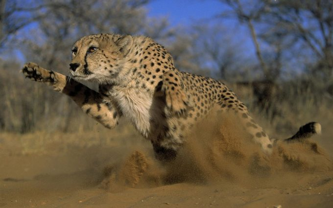 cheetah picturs