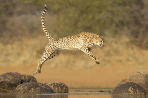 cheetah print images free