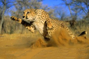 cheetah running hd