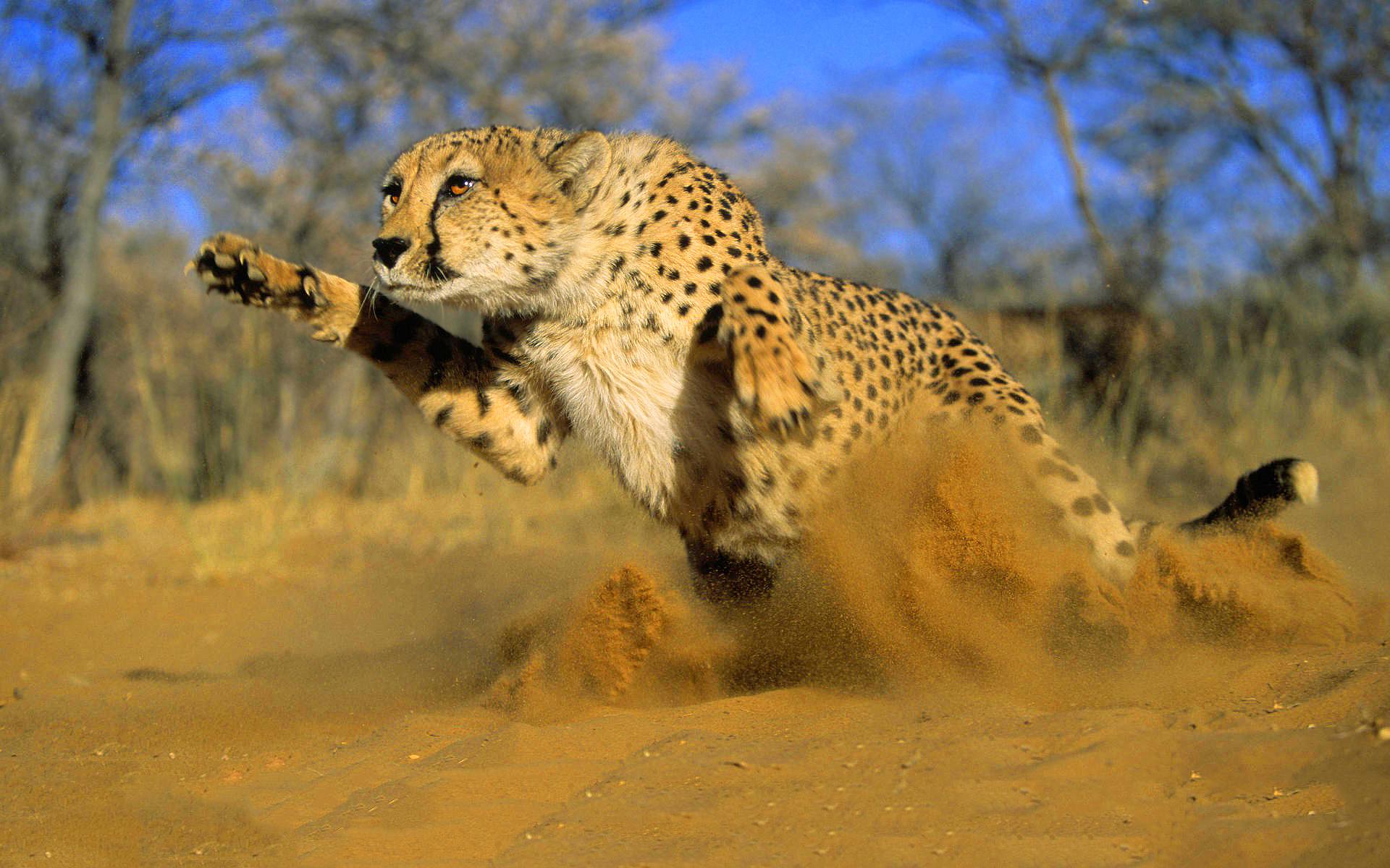 Cheetah Photos Animals Hd Wallpapers Free Download: Cheetah Running Hd - HD Desktop Wallpapers