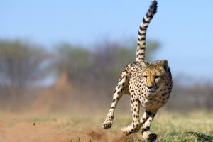 cheetah running pictures