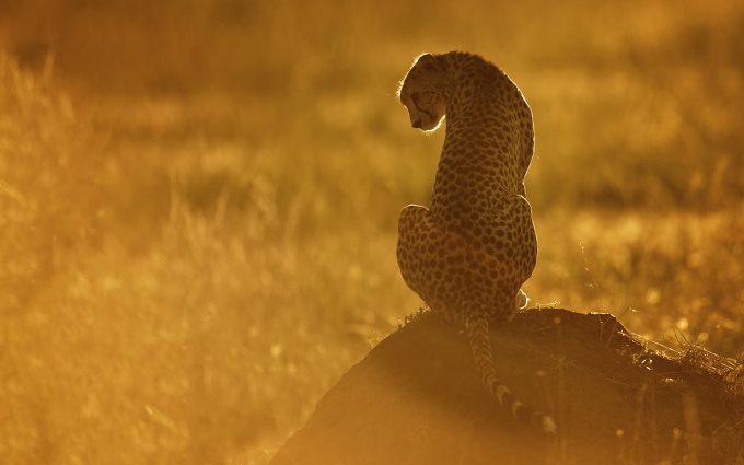 cheetah sunset