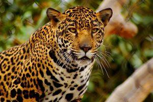 cheetahs images