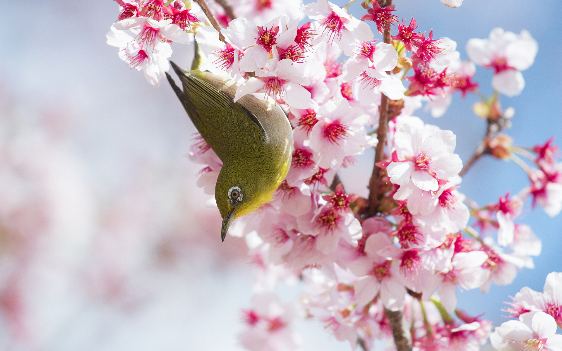 cherry blossoms bird - HD Desktop Wallpapers | 4k HD