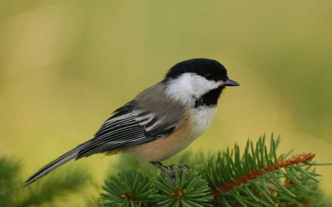chickadee wallpaper hd