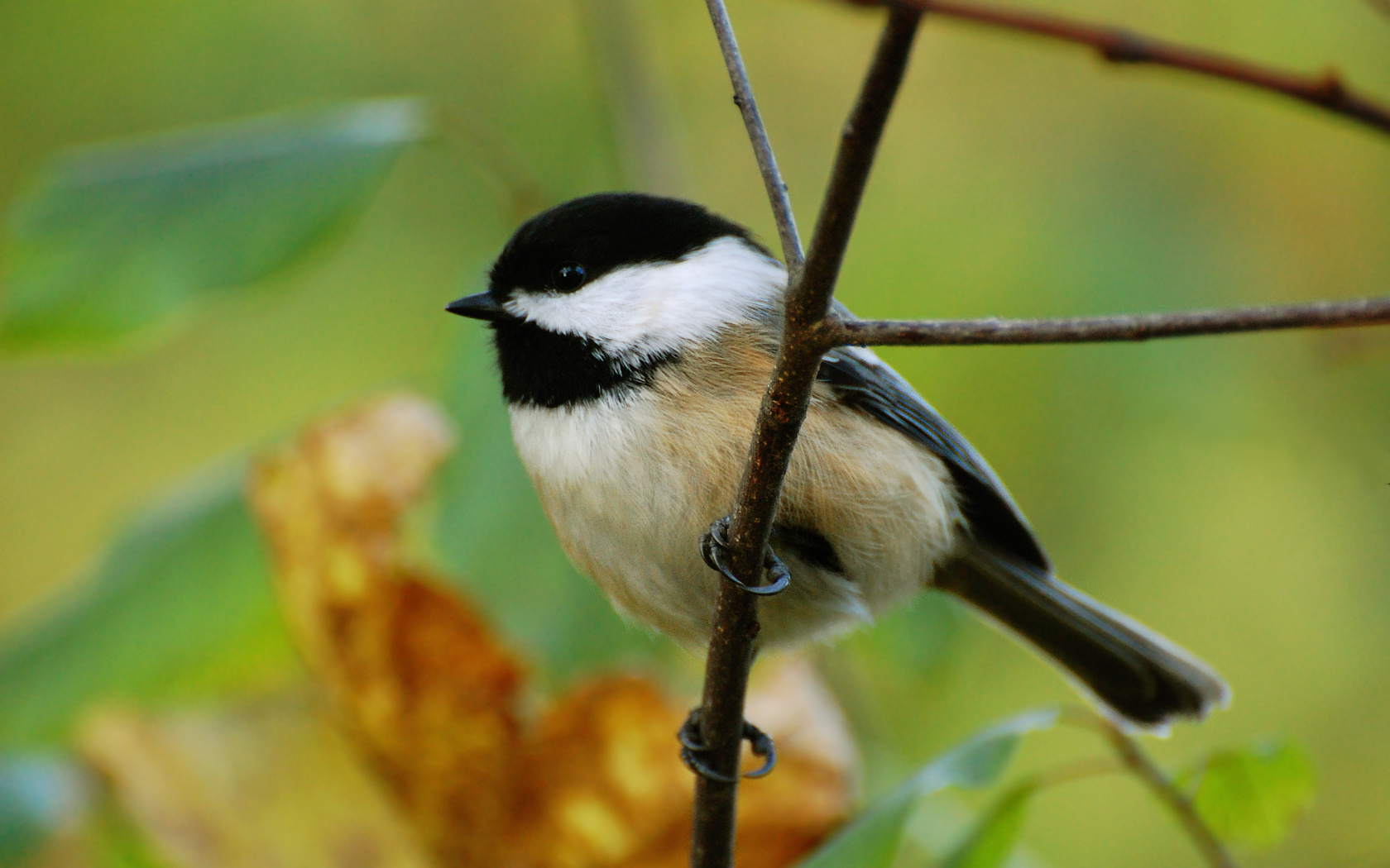 chickadee wallpaper