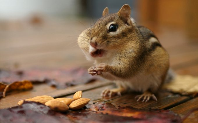 chipmunk cute
