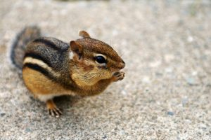 chipmunk munching