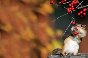 chipmunk picture hd