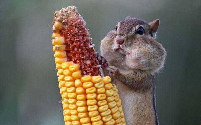 chipmunk pictures