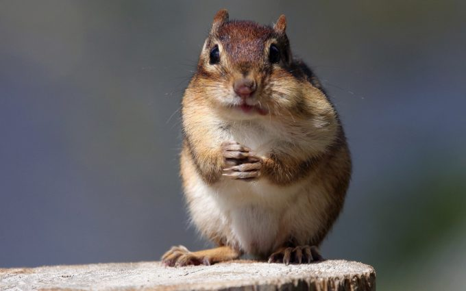 chipmunk pictures lovely