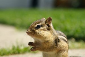chipmunk wallpaper hd