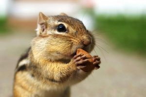 chipmunk wallpapers 1080p