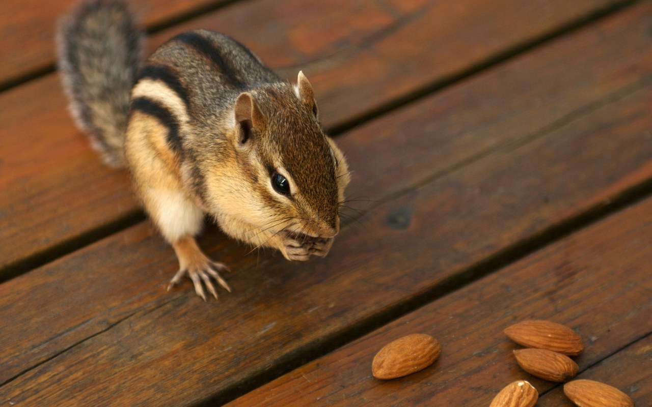 chipmunk wallpapers hd