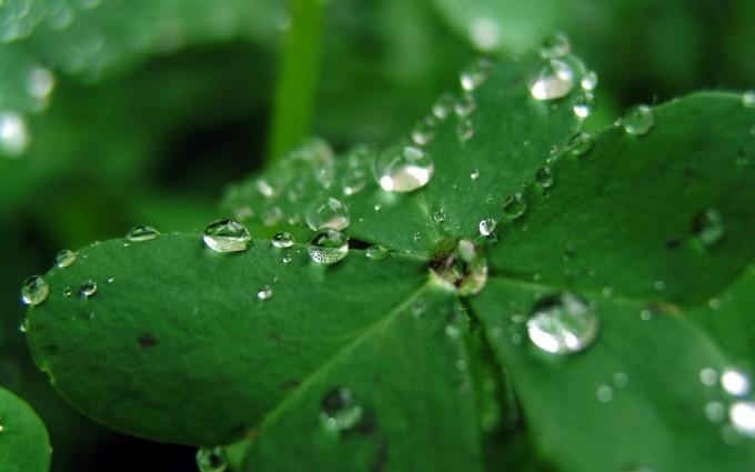 clover wallpaper dew drops