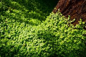 clover wallpaper nature