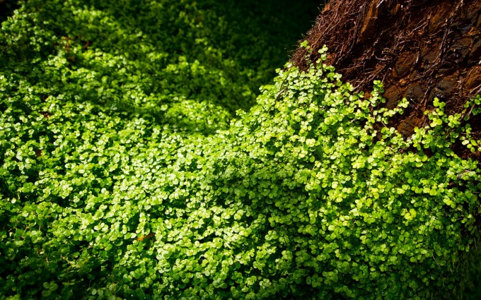 clover wallpaper nature