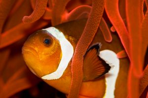 clownfish funny wallpaper